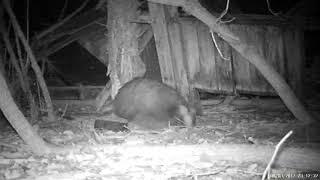 Badger poo !