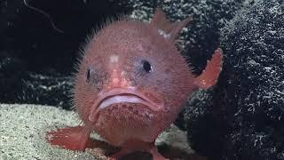 Самая грустная в мире рыба. Морская жаба