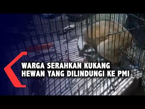 warga serahkan kukang hewan yang dilindungi ke pmi