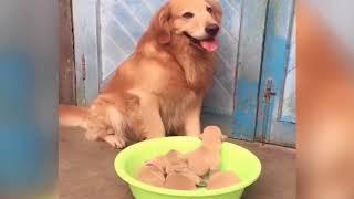 金毛妈妈生了一窝小金毛,主人看后立马叫来狗爸爸,结果好好笑!