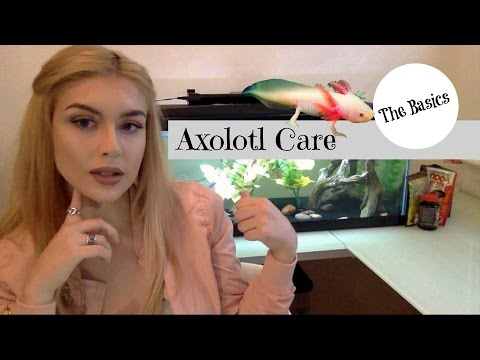 Axolotl Care: The Basics