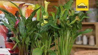Why Having Arum Lilies Work