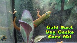 🦎 Gold Dust Day Gecko Care 101! 🦎