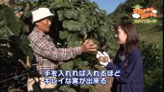 JAえひめ中央の太陽からの贈りものキウイフルーツ