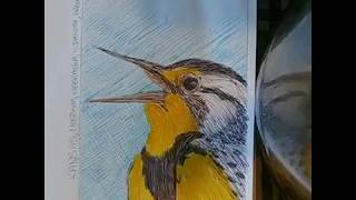 STATE BIRD OF KANSAS: WESTERN MEADOWLARK🐤!!! TIME LAPSE DRAWING!!!