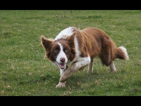 Why not to get a border collie