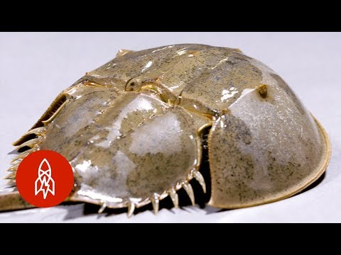 How Have Horseshoe Crabs Lasted Longer than the Dinosaurs?