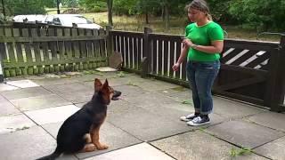 Amazing German Shepherd Puppy - Alpha Vonziu | Kholo.pk