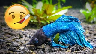 How to Save Your Sick Betta Fish