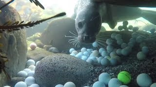 Thousands Of Golf Balls Found Off California Coast