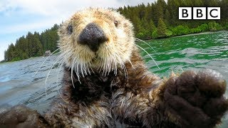 Cute otters intimately filmed by spy camera | Spy in the Wild - BBC