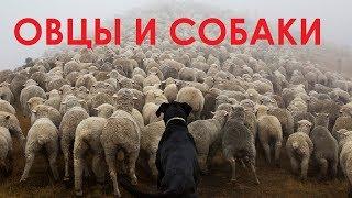 Овцы и собаки. 250 лет со дня рождения Ивана Андреевича Крылова