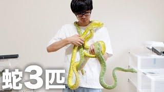 飼育している巨大なニシキヘビ3匹を首に巻いてみたらヤバすぎた