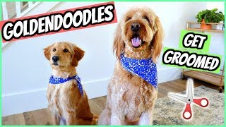 PUPPY'S FIRST GROOMING APPOINTMENT! GOLDENDOODLES