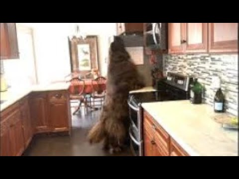 Huge Newfoundland checks top of fridge for treats