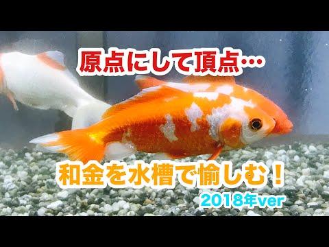 動画で金魚『原点にして頂点…和金を水槽で楽しむ! 2018年ver』H30.1.22 Goldfish movie from Japan
