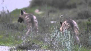 A pair of young striped hyenas in the Jerusalem mountains, Israel