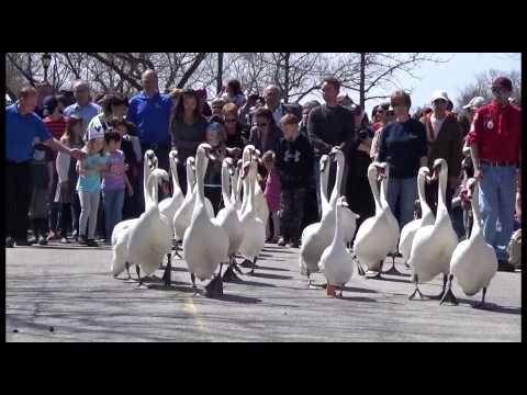 Парад лебедей в канадском Стратфорде