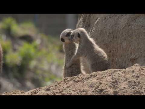 Meerkat Pups 2017