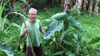 Taro Harvesting And Cooking