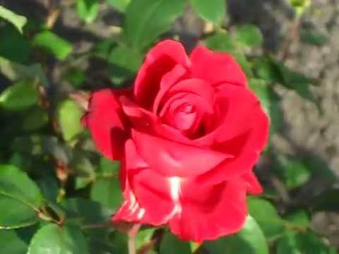 Роза Дам де Кер/Dame de Coeur.