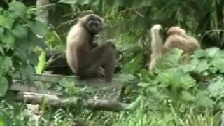 preview picture of video 'Gibbons and Proboscis Monkeys'