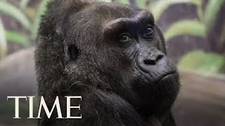 World's Oldest Known Gorilla Has Died at 60: 'She Was an Ambassador for Gorillas'   TIME
