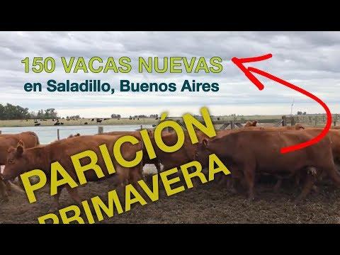 Afiche 150 Vacas nuevas con garantía de preñez - 450kg - Buenos Aires
