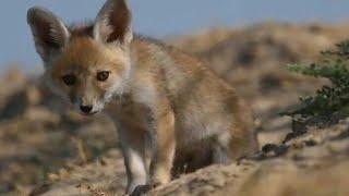The Desert fox puppy |fennec fox| |Habit| |Habitat| |Life span|