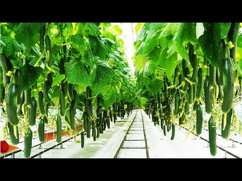 , title : 'Awesome Greenhouse Cucumber Farm and Harvest - Vegetable Agriculture Technology in Greenhouse