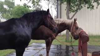 Why Give A Horse A Bath In A Rain Storm? Removing Salt & Sweat Helps the Horse