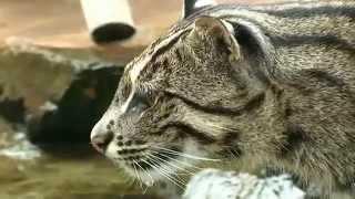 Кошка ловит рыбу. Виверровая кошка охотится на рыбу.