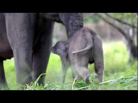 """Tara"" The Baby Elephant (6 days old)"