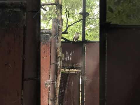 鳴いたアオバネワライカワセミ