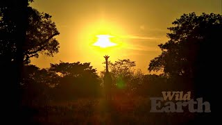 Please help us keep our daily safaris going. Find out how at http://wildearth.tv/support  WildEarth Safari times:  The Sunrise Safari starts at 06:00 local time, which means start times of 00:00 PM ET, 21:00 PM PT, 05:00 in the UK [BST], 06:00 in Central Europe, and 15:00 Sydney time.  The Sunset Safari starts at 15:00 CAT local time, 09:00 AM ET, 06:00 AM PT, 14:00 in the UK [BST], 15:00 in Central Europe, and 00:00 Sydney time.   When WildEarth isn't live, you can view the feed from the Djuma Waterhole camera, from the heart of Djuma Private Game Reserve in the Sabi Sand Wildtuin.