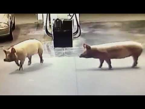 CCTV Captures Escaped Pigs Enjoying Midnight Adventure at Gold Coast Service Station