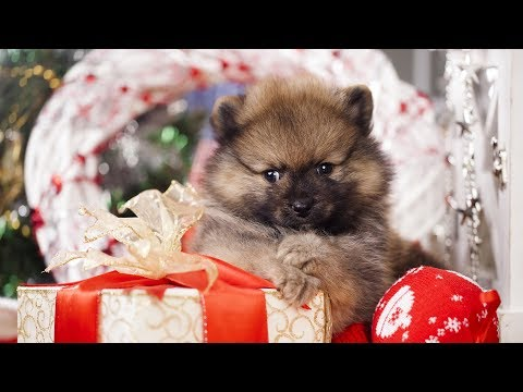 Getting A Puppy For Christmas Compilation (2018)