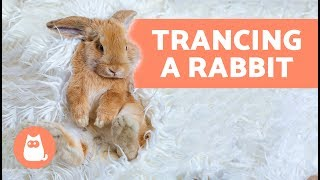 Trancing a rabbit – Why you should never do it