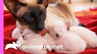 Protective First-Time Mom Looks After Her Curious Siamese Kittens | Too Cute!