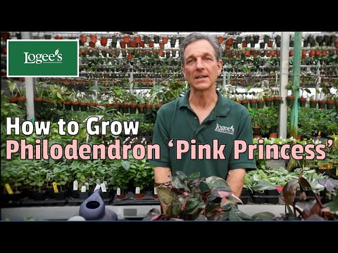 , title : 'Pink Princess Philodendron ~ How to Grow and Care for Your Pink Princess