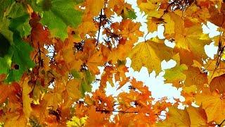 Осень. Пожелтевшие Листья. Красивая Осень. Осенние Видео. Осенние Листья. Футажи для видеомонтажа