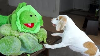 Dogs vs Annoying Cabbage Prank: Funny Dogs Maymo, Potpie & Penny