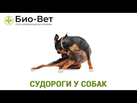 Судороги у Собак - Причины и Лечение // Сеть Ветклиник БИО-ВЕТ