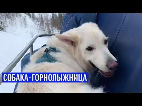 Собака-горнолыжница