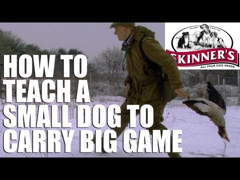 Gundog training tips – How to get your small dog to carry big game
