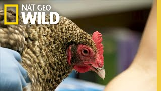 A Chicken With Bumble Foot | The Hatcher Family Dairy