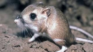 Interesting Kangaroo rat Facts