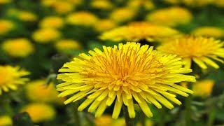 18 Amazing Health Benefits Of Dandelion Leafs & Roots For Skin, Body & Weight Loss