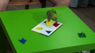 Kili Senegal Parrot - Parrot Does Four Piece Shapes/Colors Puzzle
