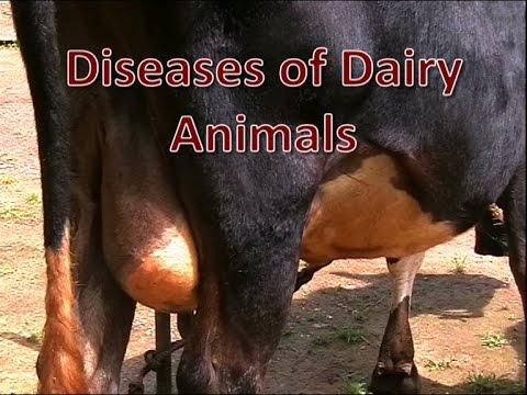 Video Diseases of Dairy Animals
